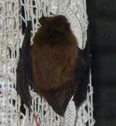 bat on the curtain