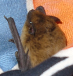 bat in the blanket